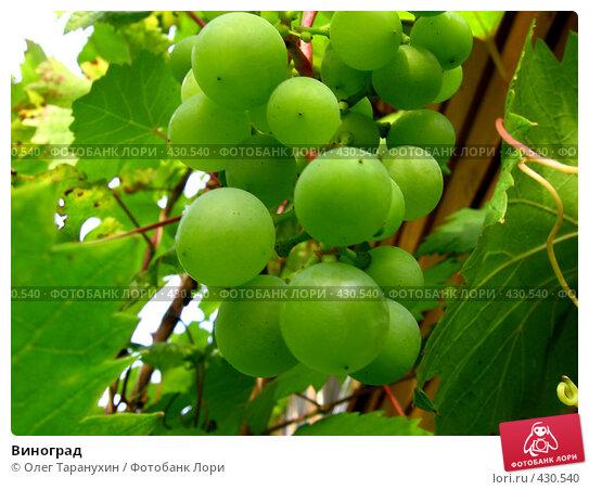 Купить «Виноград», фото № 430540, снято 25 августа 2008 г. (c) Олег Таранухин / Фотобанк Лори