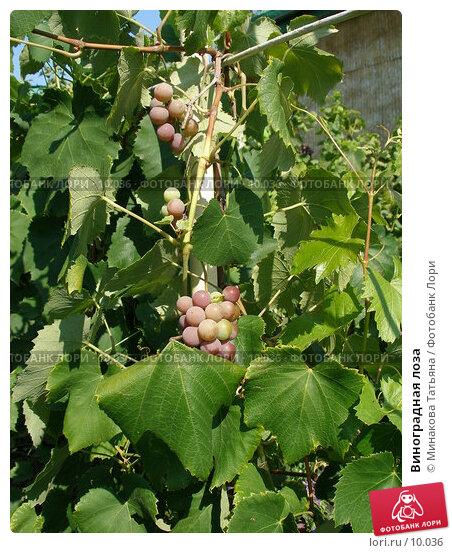 Виноградная лоза, фото № 10036, снято 27 августа 2006 г. (c) Минакова Татьяна / Фотобанк Лори