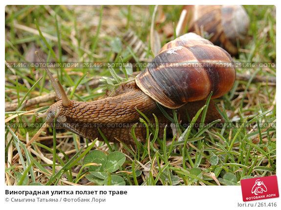 Виноградная улитка ползет по траве, фото № 261416, снято 31 марта 2006 г. (c) Смыгина Татьяна / Фотобанк Лори
