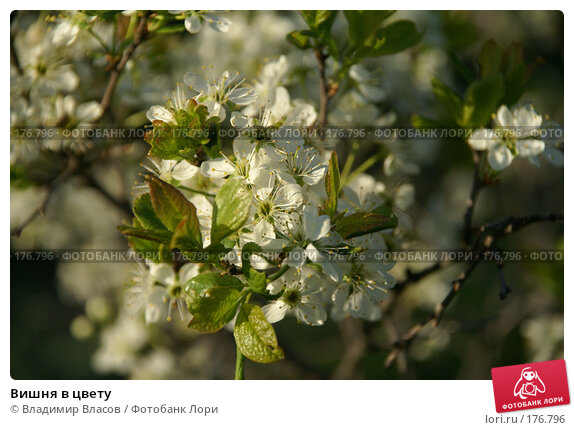 Вишня в цвету, фото № 176796, снято 26 мая 2007 г. (c) Владимир Власов / Фотобанк Лори