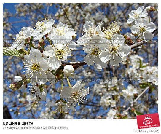 Вишня в цвету, фото № 297368, снято 11 мая 2008 г. (c) Емельянов Валерий / Фотобанк Лори