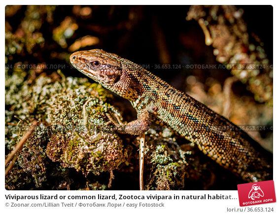 Viviparous lizard or common lizard, Zootoca vivipara in natural habitat... Стоковое фото, фотограф Zoonar.com/Lillian Tveit / easy Fotostock / Фотобанк Лори