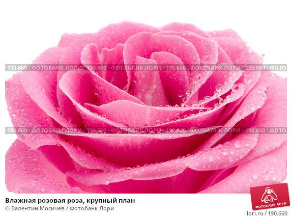 Влажная розовая роза, крупный план, фото № 190660, снято 3 марта 2007 г. (c) Валентин Мосичев / Фотобанк Лори