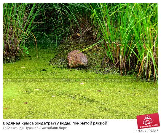 Водяная крыса (ондатра?) у воды, покрытой ряской, фото № 109348, снято 1 июля 2006 г. (c) Александр Чураков / Фотобанк Лори