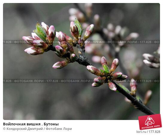 Войлочная вишня . Бутоны, фото № 177828, снято 27 апреля 2007 г. (c) Кондорский Дмитрий / Фотобанк Лори