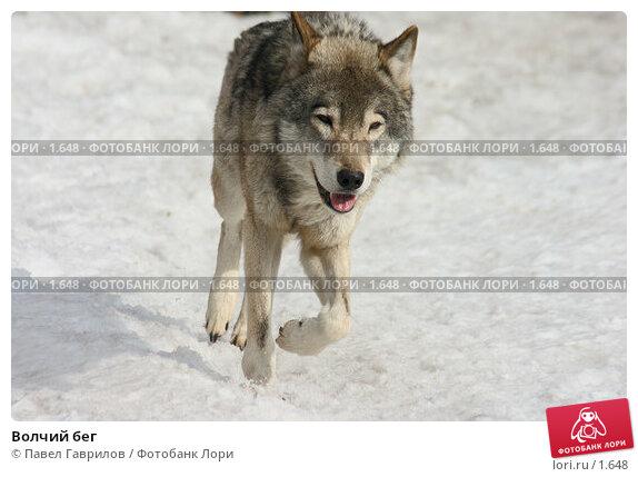 Купить «Волчий бег», фото № 1648, снято 25 ноября 2017 г. (c) Павел Гаврилов / Фотобанк Лори