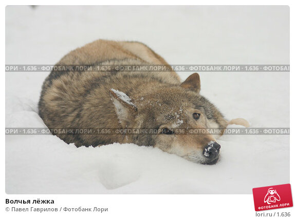Волчья лёжка, фото № 1636, снято 20 июля 2017 г. (c) Павел Гаврилов / Фотобанк Лори