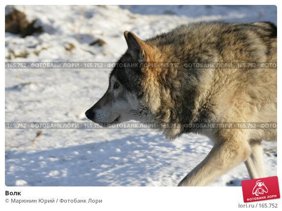Волк, фото № 165752, снято 15 декабря 2007 г. (c) Марюнин Юрий / Фотобанк Лори