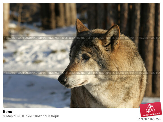 Купить «Волк», фото № 165756, снято 15 декабря 2007 г. (c) Марюнин Юрий / Фотобанк Лори