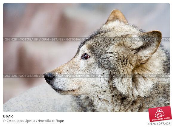 Волк, фото № 267428, снято 8 апреля 2008 г. (c) Смирнова Ирина / Фотобанк Лори
