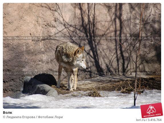 Волк. Стоковое фото, фотограф Людмила Егорова / Фотобанк Лори