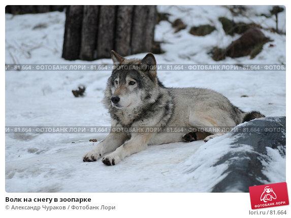 Волк на снегу в зоопарке, фото № 81664, снято 1 января 2007 г. (c) Александр Чураков / Фотобанк Лори