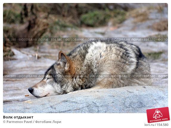 Волк отдыхает, фото № 154580, снято 11 декабря 2007 г. (c) Parmenov Pavel / Фотобанк Лори