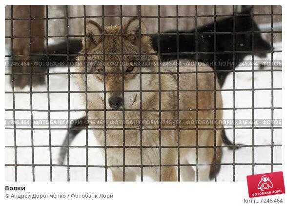 Волки, фото № 246464, снято 26 февраля 2017 г. (c) Андрей Доронченко / Фотобанк Лори