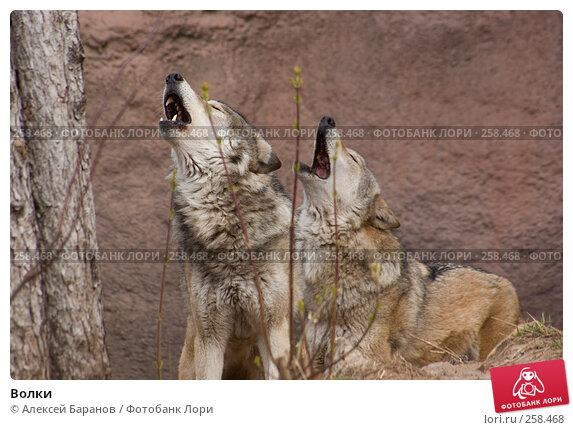 Волки, фото № 258468, снято 10 апреля 2008 г. (c) Алексей Баранов / Фотобанк Лори