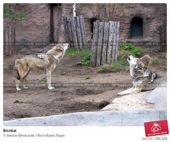 Волки, фото № 306428, снято 16 апреля 2008 г. (c) Бяков Вячеслав / Фотобанк Лори