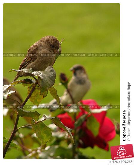 Купить «Воробей и роза», эксклюзивное фото № 109268, снято 27 сентября 2006 г. (c) Павел Широков / Фотобанк Лори