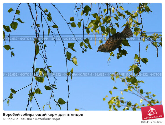 Купить «Воробей собирающий корм для птенцов», фото № 39632, снято 6 мая 2007 г. (c) Ларина Татьяна / Фотобанк Лори