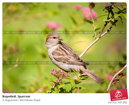 Воробей. Sparrow, фото № 107292, снято 14 июня 2007 г. (c) Argument / Фотобанк Лори