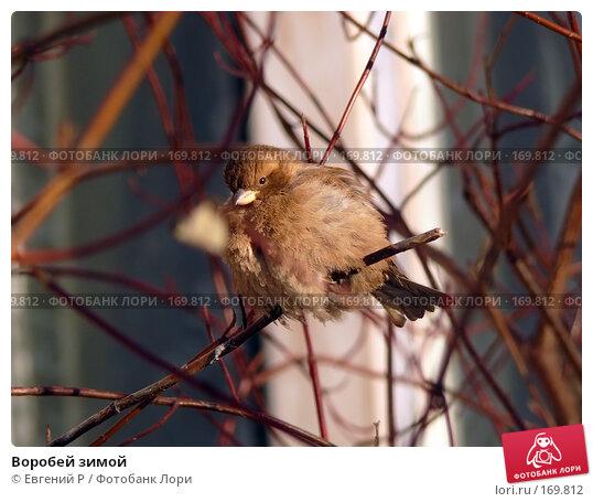 Воробей зимой, фото № 169812, снято 7 января 2008 г. (c) Евгений Р / Фотобанк Лори
