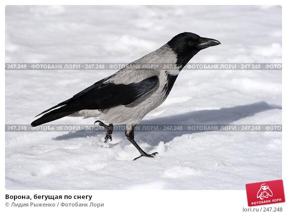 Ворона, бегущая по снегу, фото № 247248, снято 6 марта 2008 г. (c) Лидия Рыженко / Фотобанк Лори