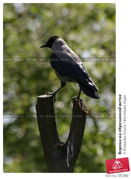 Ворона на обрезанной ветке, фото № 35080, снято 21 апреля 2007 г. (c) Блинова Ольга / Фотобанк Лори