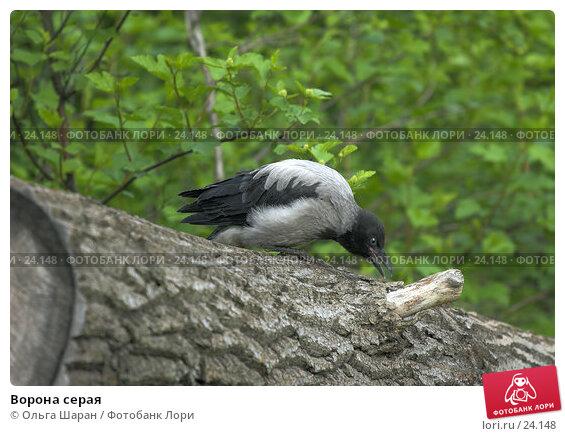 Ворона серая, фото № 24148, снято 7 июня 2006 г. (c) Ольга Шаран / Фотобанк Лори
