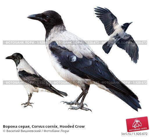 Купить «Ворона серая, Corvus cornix, Hooded Crow», фото № 1920672, снято 8 июля 2009 г. (c) Василий Вишневский / Фотобанк Лори
