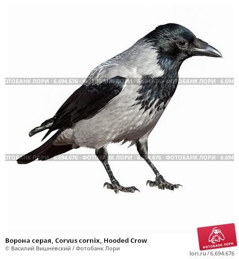 Купить «Ворона серая, Corvus cornix, Hooded Crow», фото № 6694676, снято 24 октября 2010 г. (c) Василий Вишневский / Фотобанк Лори