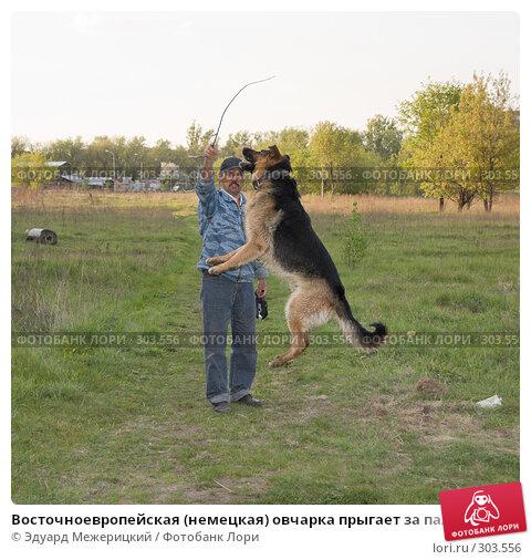 Восточноевропейская (немецкая) овчарка прыгает за палкой, фото № 303556, снято 12 мая 2008 г. (c) Эдуард Межерицкий / Фотобанк Лори