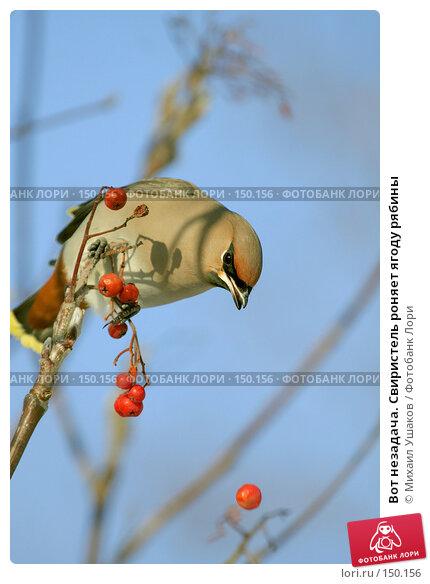 Вот незадача. Свиристель роняет ягоду рябины, фото № 150156, снято 15 декабря 2007 г. (c) Михаил Ушаков / Фотобанк Лори