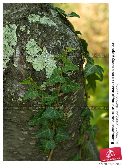 Вьющееся растение поднимается по стволу дерева, фото № 173200, снято 12 августа 2007 г. (c) Петухов Геннадий / Фотобанк Лори