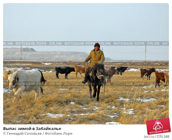 Выпас зимой в Забайкалье (2008 год). Редакционное фото, фотограф Геннадий Соловьев / Фотобанк Лори