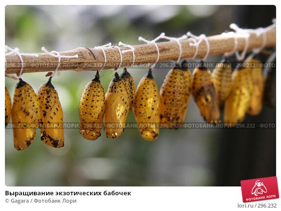 Выращивание экзотических бабочек, фото № 296232, снято 10 мая 2007 г. (c) Gagara / Фотобанк Лори