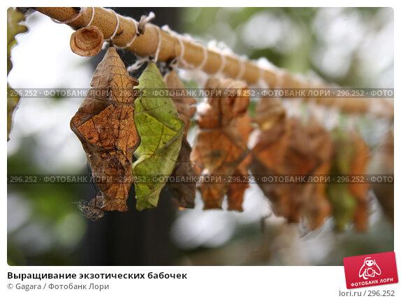 Выращивание экзотических бабочек, фото № 296252, снято 10 мая 2007 г. (c) Gagara / Фотобанк Лори