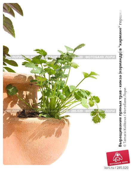 """Выращивание пряных трав - кинза (кориандр) в """"кармане"""" горшка, фото № 285020, снято 14 мая 2008 г. (c) Tamara Kulikova / Фотобанк Лори"""