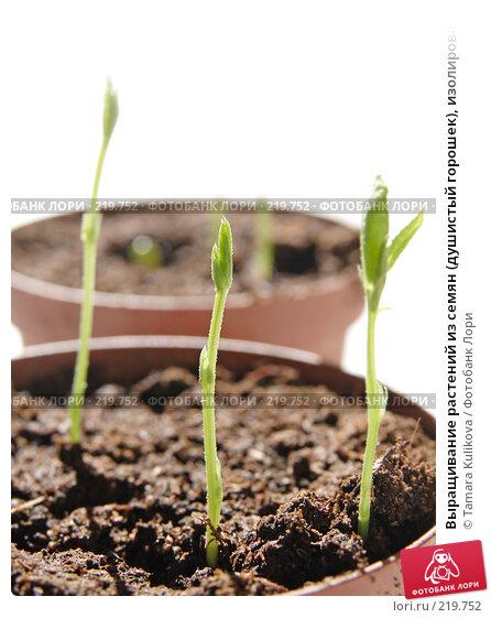 Выращивание растений из семян (душистый горошек), изолированное изображение, фото № 219752, снято 7 марта 2008 г. (c) Tamara Kulikova / Фотобанк Лори