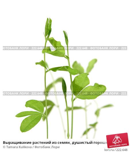 Выращивание растений из семян, душистый горошек, изолированное изображение, фото № 222648, снято 13 марта 2008 г. (c) Tamara Kulikova / Фотобанк Лори