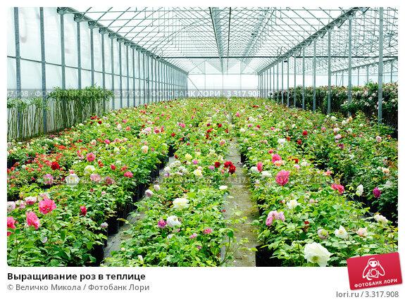 Выращивание роз в теплице. Стоковое фото, фотограф Величко Микола / Фотобанк Лори
