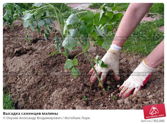 Высадка саженцев малины, фото № 302840, снято 2 мая 2008 г. (c) Окунев Александр Владимирович / Фотобанк Лори