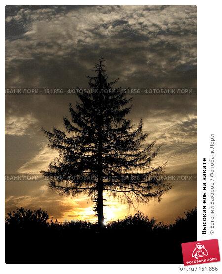 Купить «Высокая ель на закате», фото № 151856, снято 2 августа 2006 г. (c) Евгений Захаров / Фотобанк Лори
