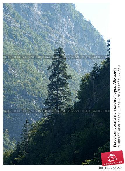 Высокая сосна на склоне горы. Абхазия, фото № 237224, снято 31 июля 2005 г. (c) Виктор Филиппович Погонцев / Фотобанк Лори