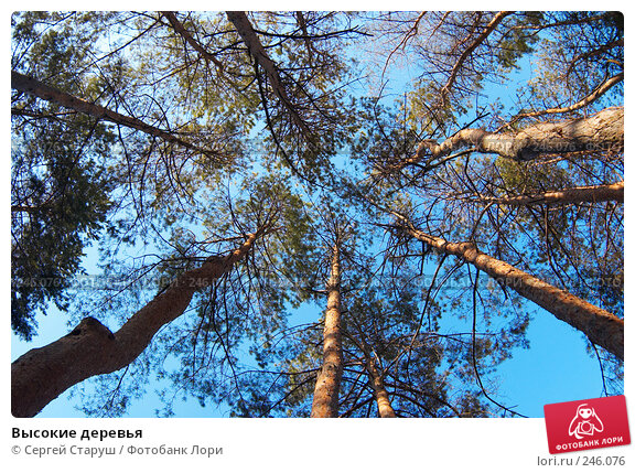 Высокие деревья, фото № 246076, снято 23 марта 2008 г. (c) Сергей Старуш / Фотобанк Лори