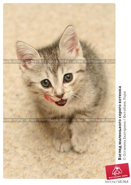 Взгляд маленького серого котенка, фото № 68964, снято 23 июля 2007 г. (c) Останина Екатерина / Фотобанк Лори