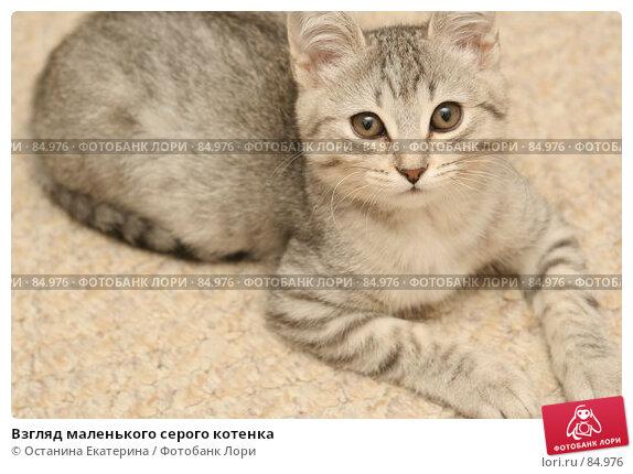 Взгляд маленького серого котенка, фото № 84976, снято 9 сентября 2007 г. (c) Останина Екатерина / Фотобанк Лори