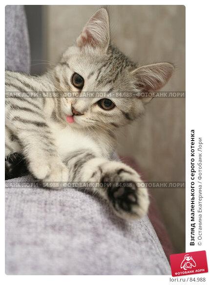 Купить «Взгляд маленького серого котенка», фото № 84988, снято 5 сентября 2007 г. (c) Останина Екатерина / Фотобанк Лори