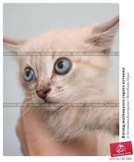 Купить «Взгляд маленького серого котенка», фото № 85084, снято 13 сентября 2007 г. (c) Останина Екатерина / Фотобанк Лори