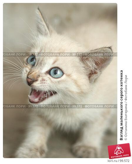Взгляд маленького серого котенка, фото № 99572, снято 13 сентября 2007 г. (c) Останина Екатерина / Фотобанк Лори