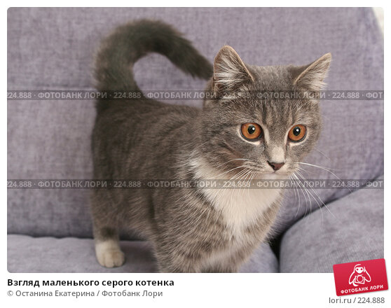 Взгляд маленького серого котенка, фото № 224888, снято 22 февраля 2008 г. (c) Останина Екатерина / Фотобанк Лори