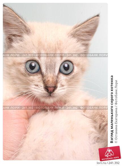 Купить «Взгляд маленького серого котенка», фото № 241392, снято 13 сентября 2007 г. (c) Останина Екатерина / Фотобанк Лори